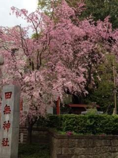 ご近所の田無神社のしだれ桜満開