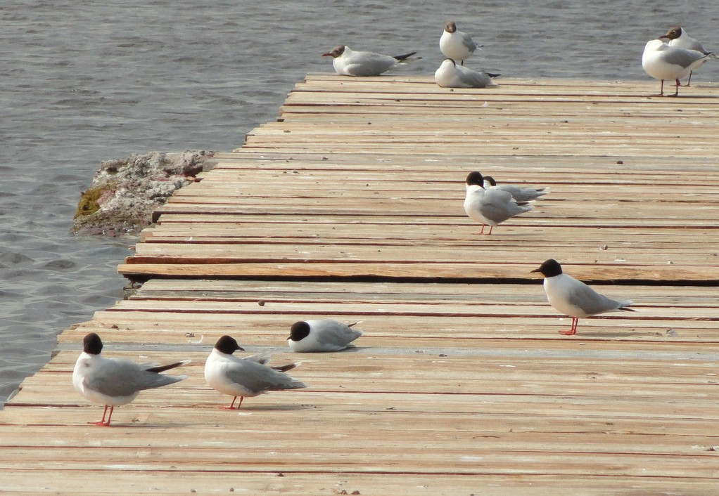 Чайки на мостках