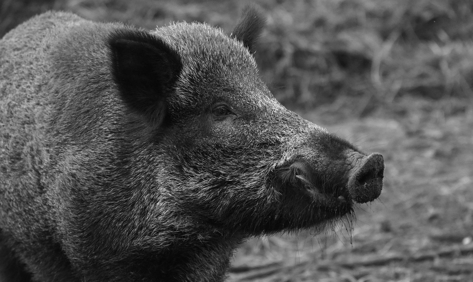Offizielle Abschussprämie: 65 Euro für jedes Wildschwein