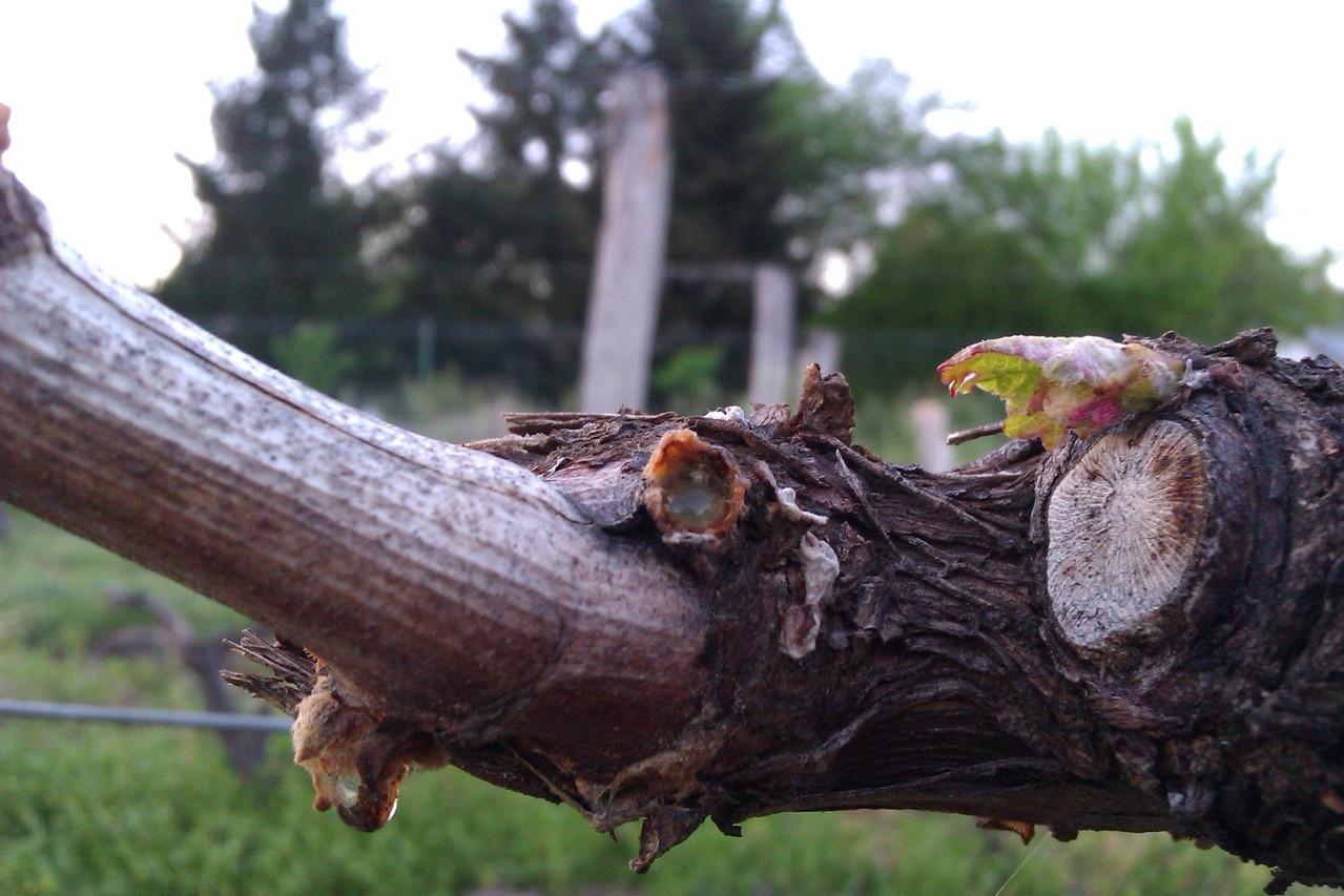 Après le passage manuel pour provoquer le départ des bourgeons dormants