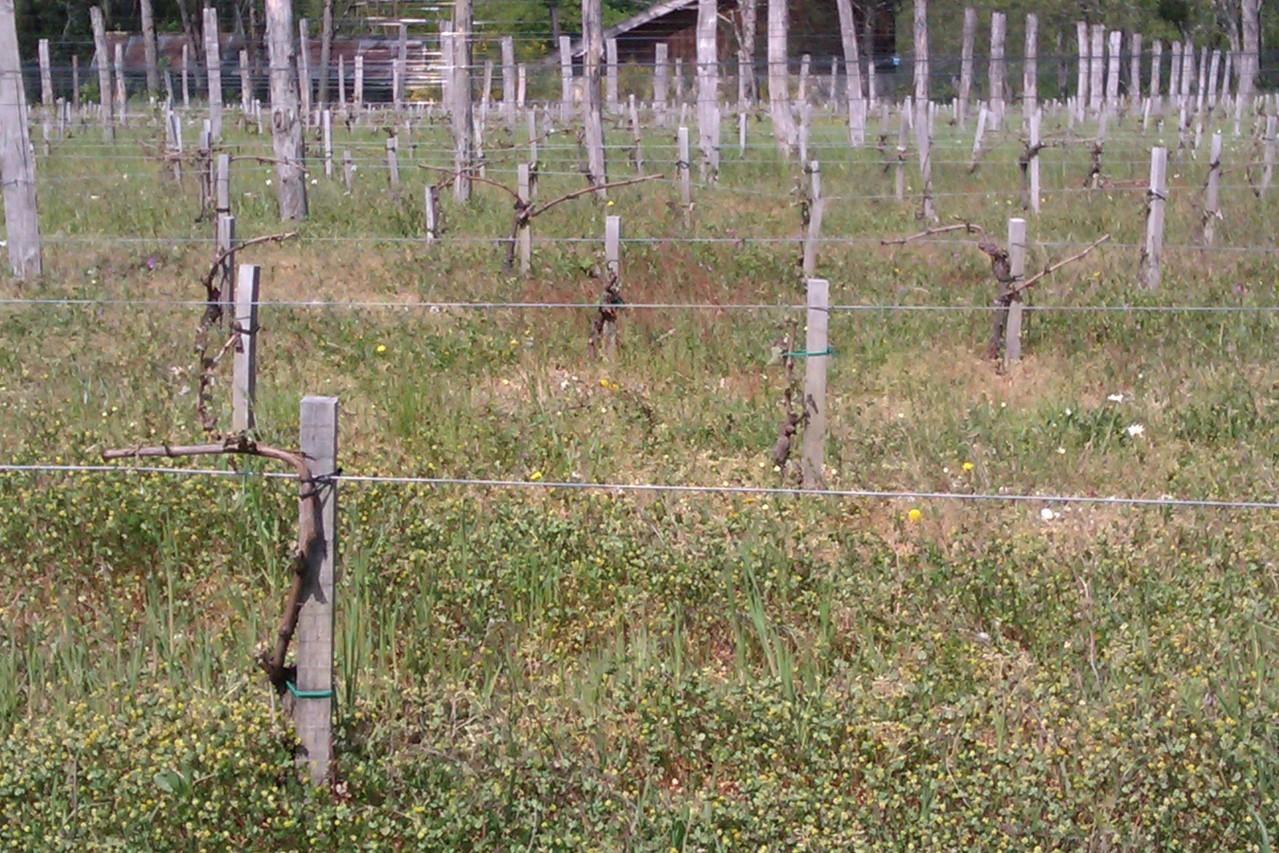 plantation sévèrement touchée de cabernet-sauvignon