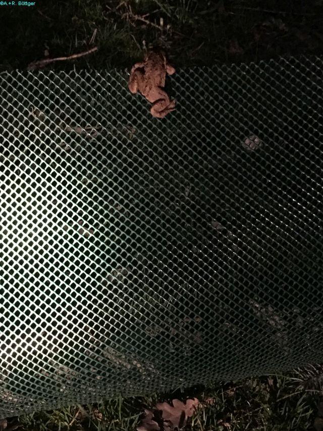 Erdkrötenweibchen: Nach dem Ablaichen so schnell wie möglich zurück ins Sommerquartier