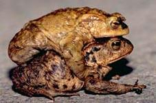 Erdkröten Paar Foto: Postler