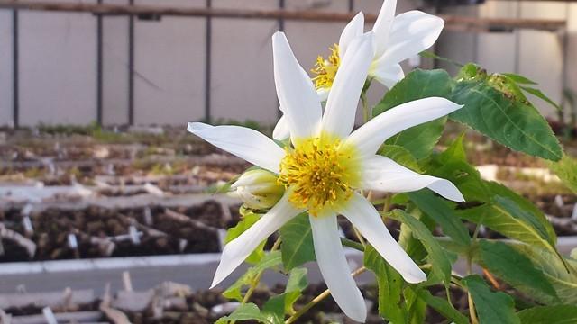 Die Blüte einer dahlia macdougallii in unserem Gewächshaus in Bad Köstritz
