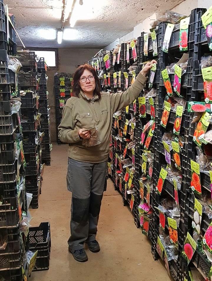 Unsere Dahlienchefin Monika Oehlgardt bereitet im Dahlienkeller die Knollen vor und verpackt sie.