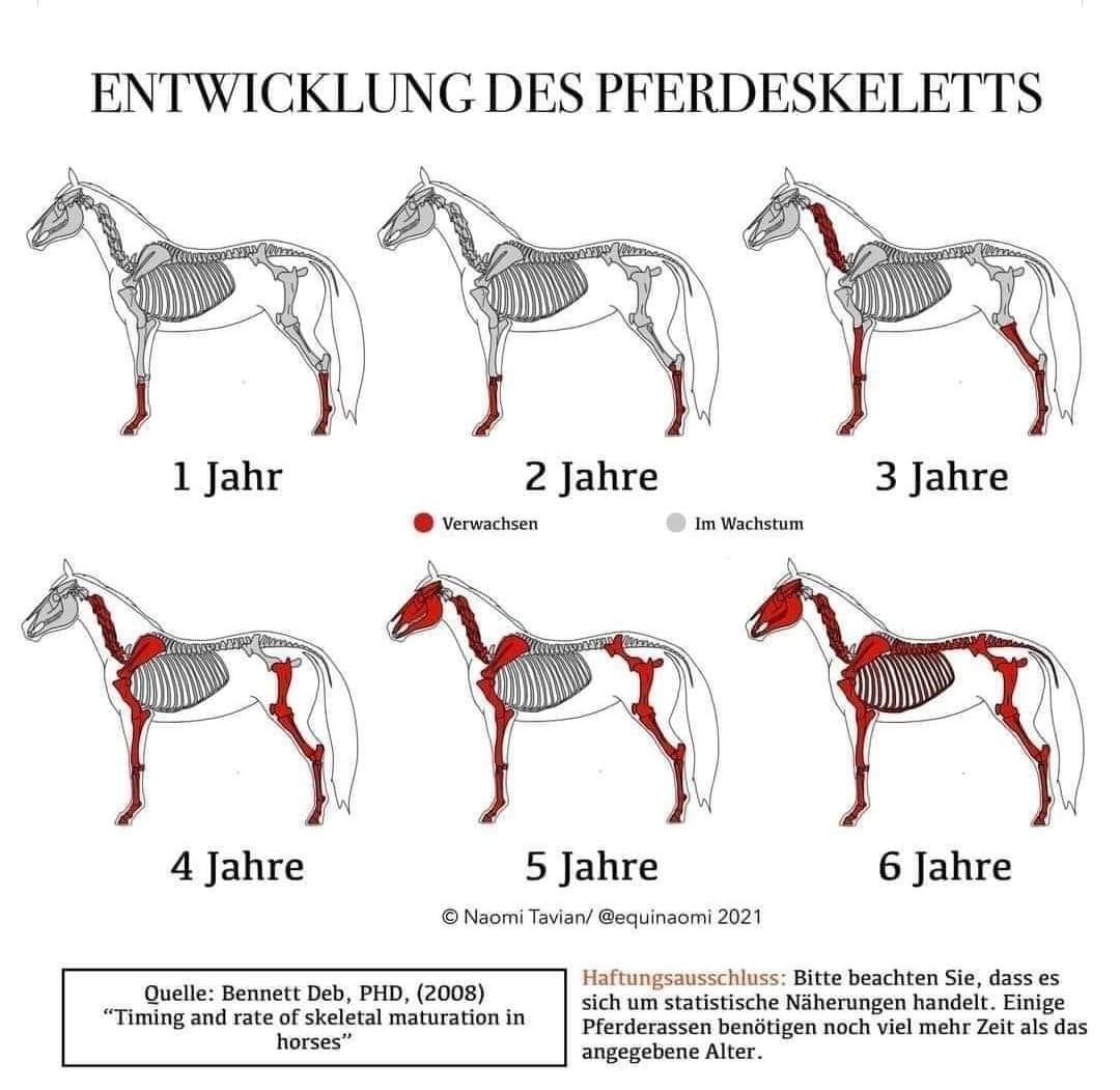Entwicklung des Pferdeskeletts