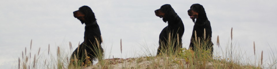 Gordon Setter Kennel Karymoor's
