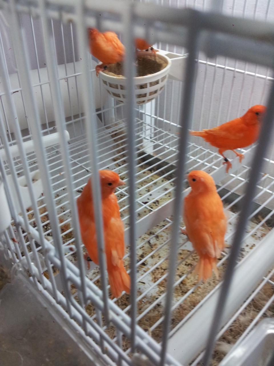 Rojos  saltando del nido