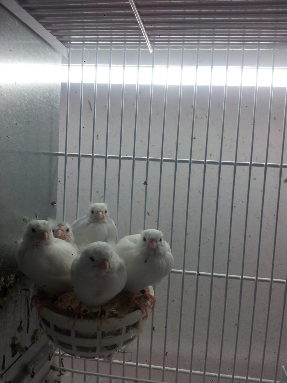Blanco recesivo en el nido