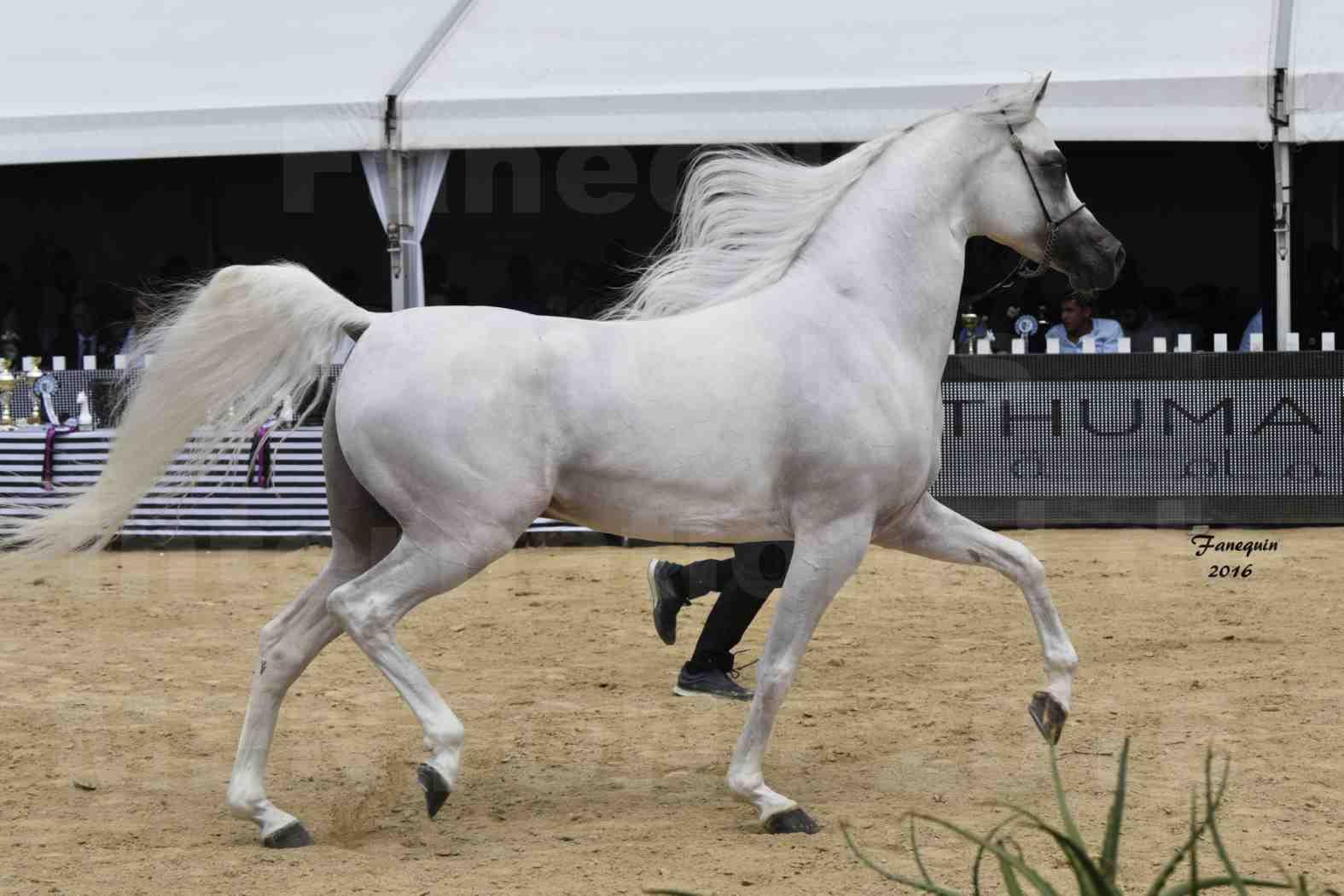 Show International de chevaux ARABES de MENTON 2016 - AJA ANGELO - 26