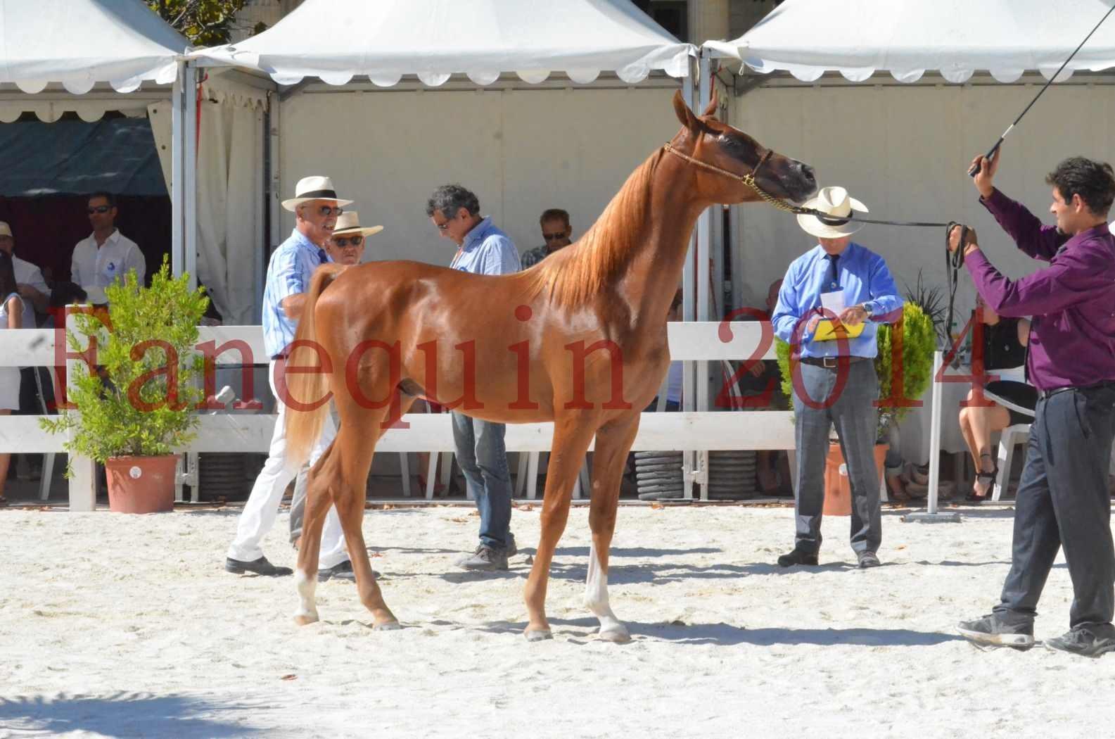 Concours National de Nîmes de chevaux ARABES 2014 - TSAR NERIO - 23