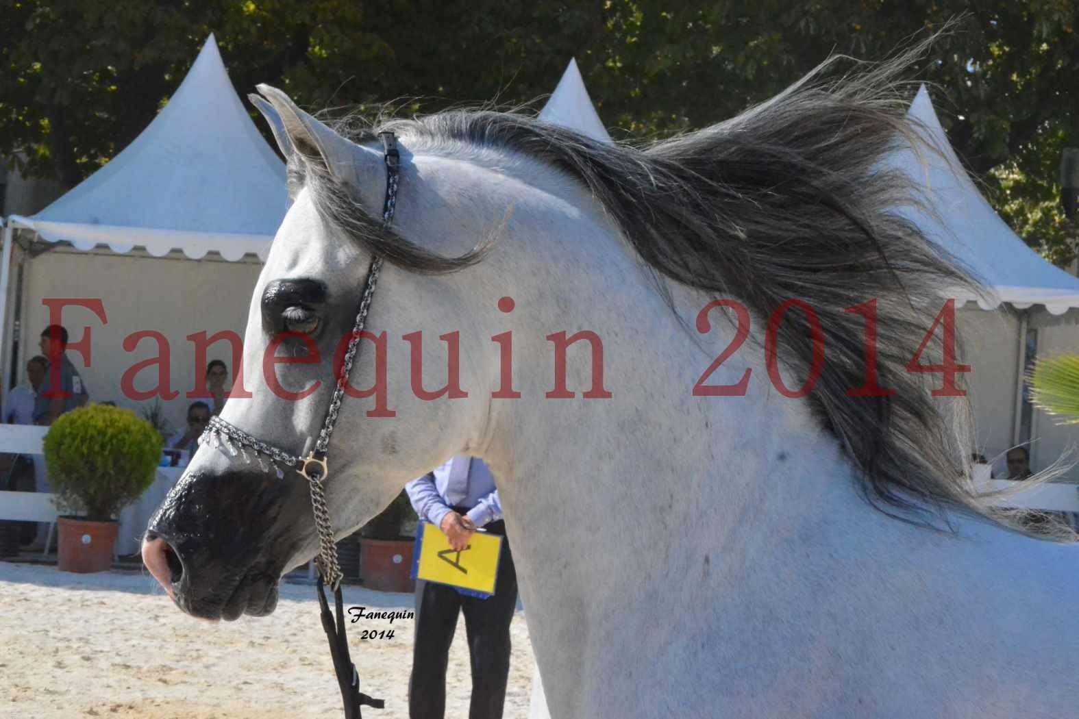 Concours National de Nîmes de chevaux ARABES 2014 - Notre Sélection - Portraits - SHAOLIN DE NEDJAIA - 16
