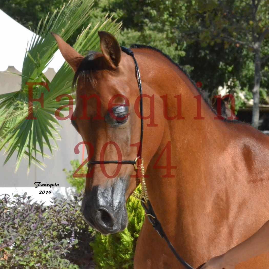 Concours National de Nîmes de chevaux ARABES 2014 - Notre Sélection - Portraits - ABHA TALAWA - 1
