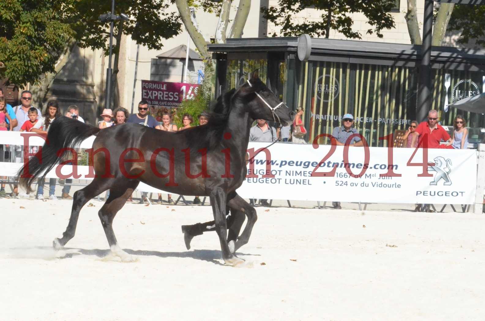 Concours National de Nîmes de chevaux ARABES 2014 - Sélection - Portraits - BALTYK DE CHAUMONT - 04