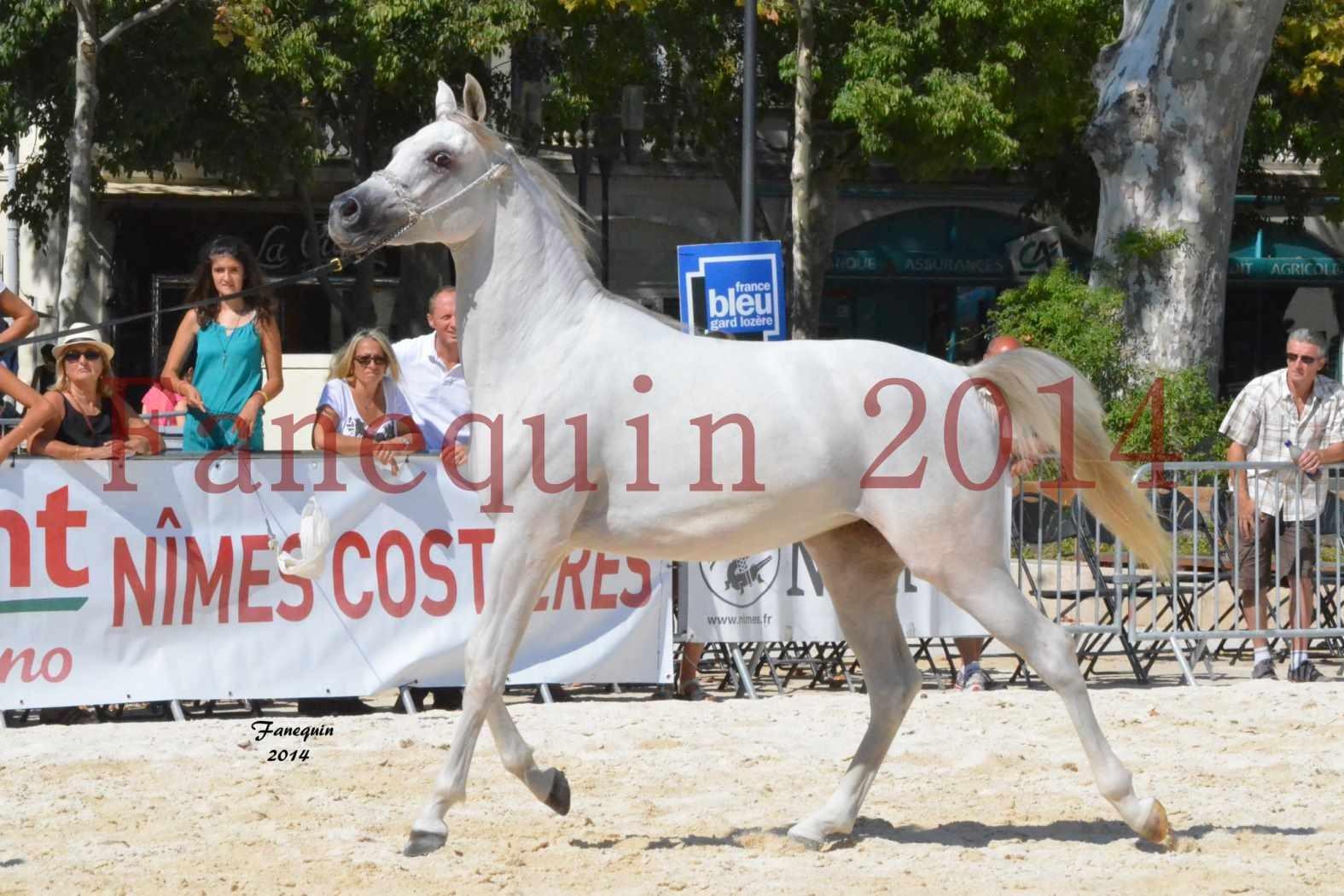 Concours National de Nîmes de chevaux ARABES 2014 - ENVY ETERNITY - 02