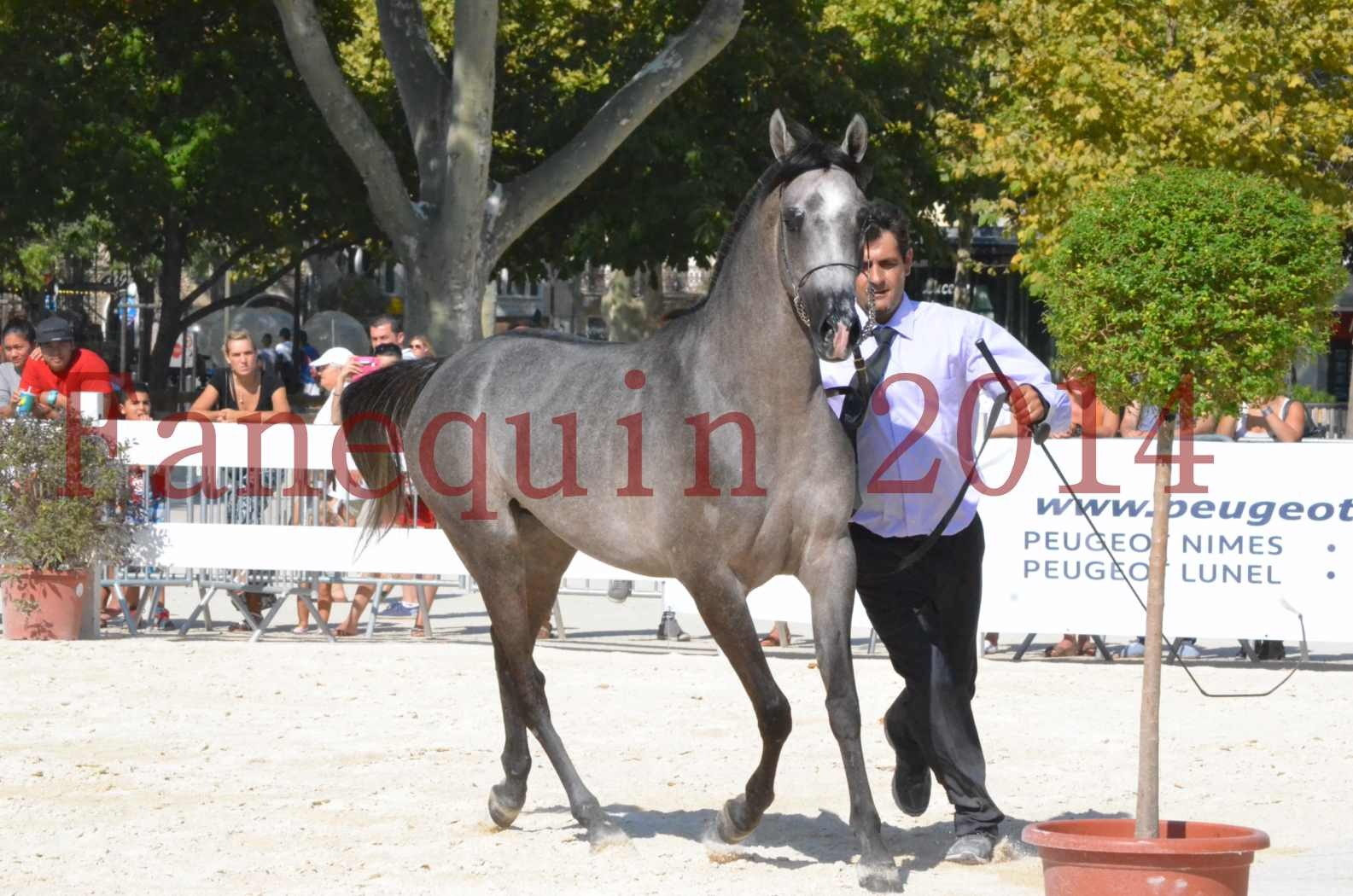 Concours National de Nîmes de chevaux ARABES 2014 - Championnat - JOSEPH'S BOUZIOLS - C 15