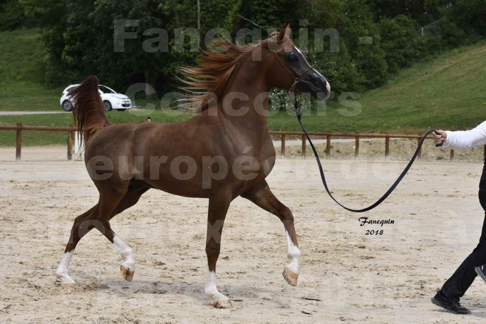 Concours Européen de chevaux Arabes à Chazey sur Ain 2018 - FANTASTIK - Notre Sélection - 3