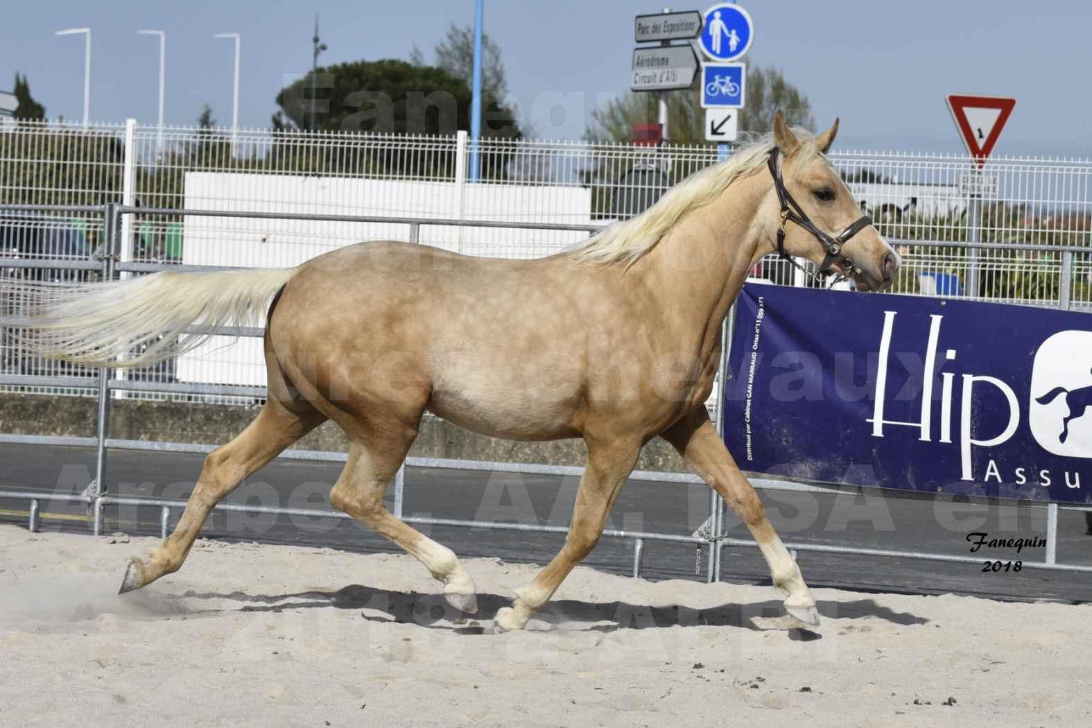 Concours d'élevage de Chevaux Arabes - D. S. A. - A. A. - ALBI les 6 & 7 Avril 2018 - GOLD DE DARRE - Notre Sélection - 8