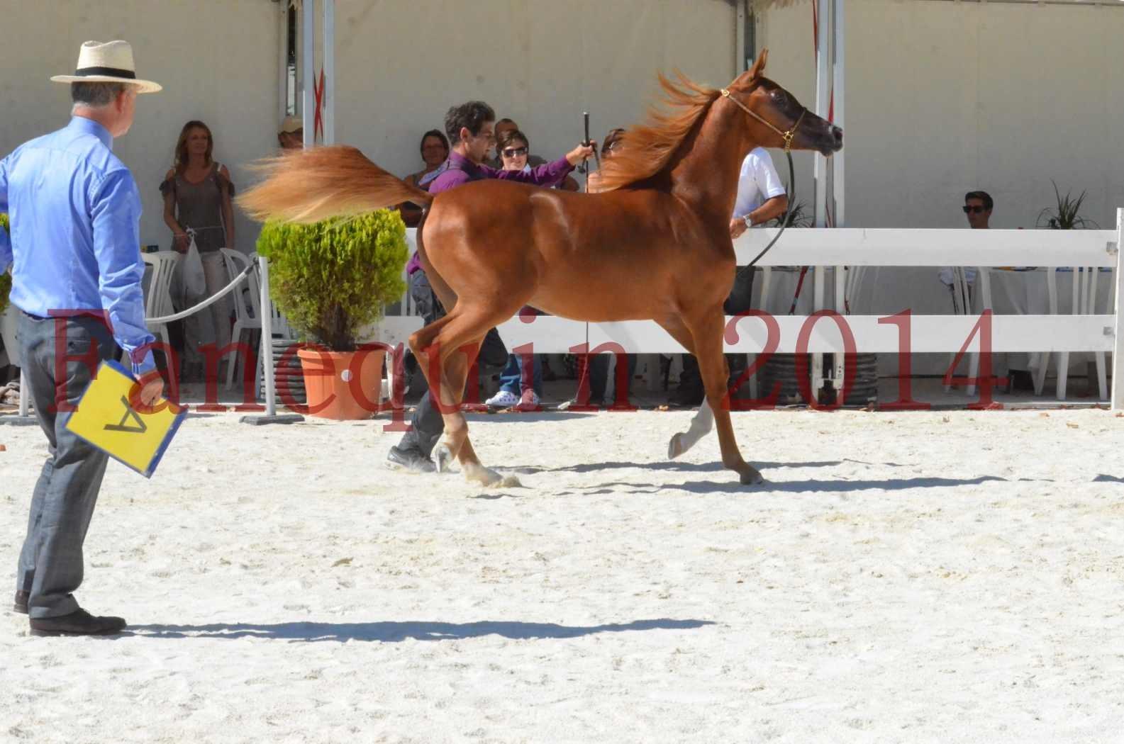 Concours National de Nîmes de chevaux ARABES 2014 - TSAR NERIO - 17