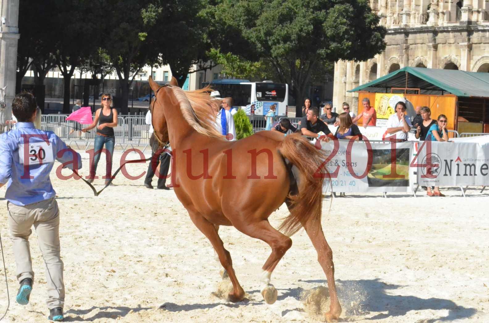 Concours National de Nîmes de chevaux ARABES 2014 - Championnat - MASSAI DE BARREL - 75