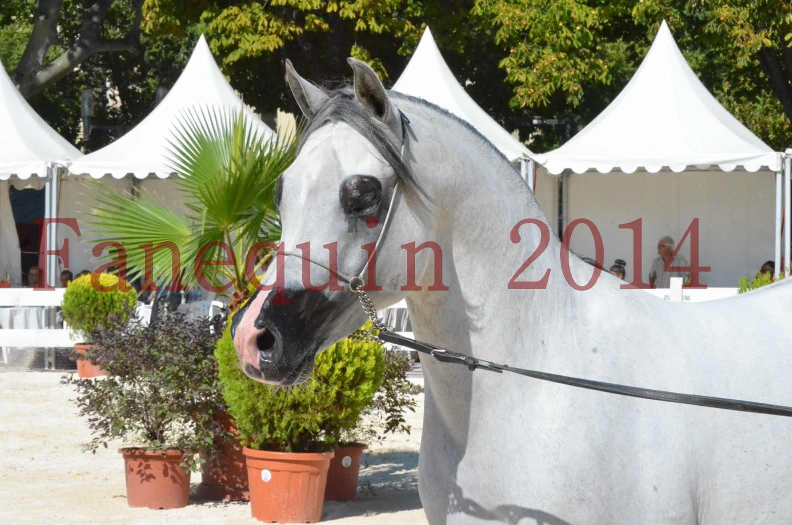 Concours National de Nîmes de chevaux ARABES 2014 - Sélection - SHAOLIN DE NEDJAIA - 17