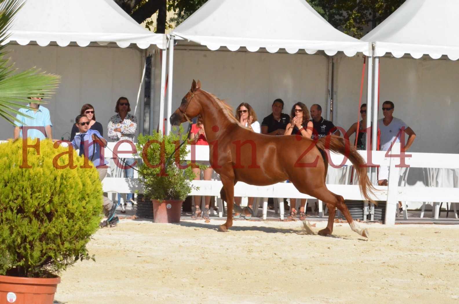 Concours National de Nîmes de chevaux ARABES 2014 - Championnat - MASSAI DE BARREL - 43