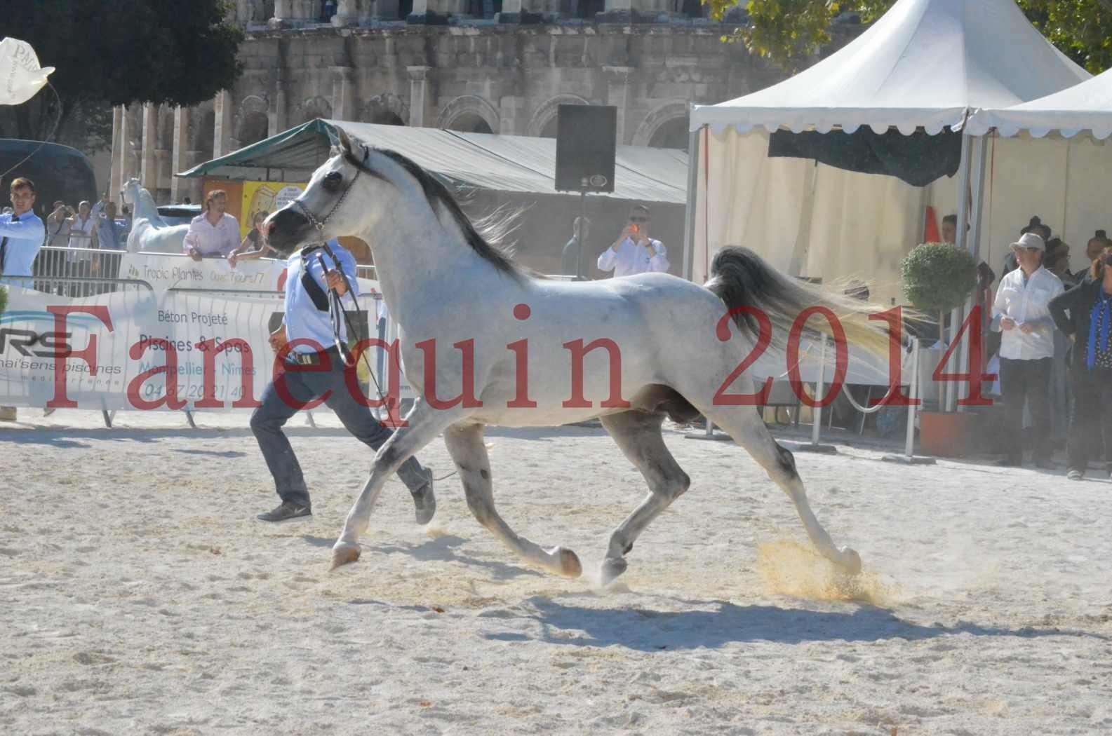 Concours National de Nîmes de chevaux ARABES 2014 - Championnat - SHAOLIN DE NEDJAIA - 01