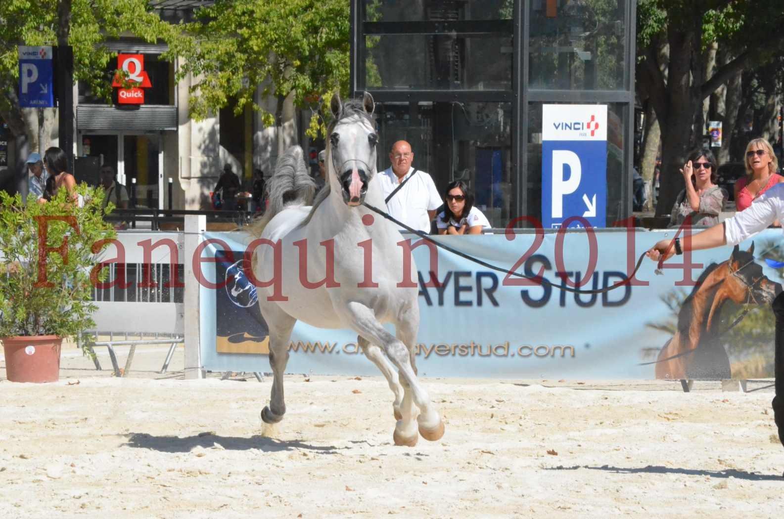 Concours National de Nîmes de chevaux ARABES 2014 - Sélection - SHAOLIN DE NEDJAIA - 45