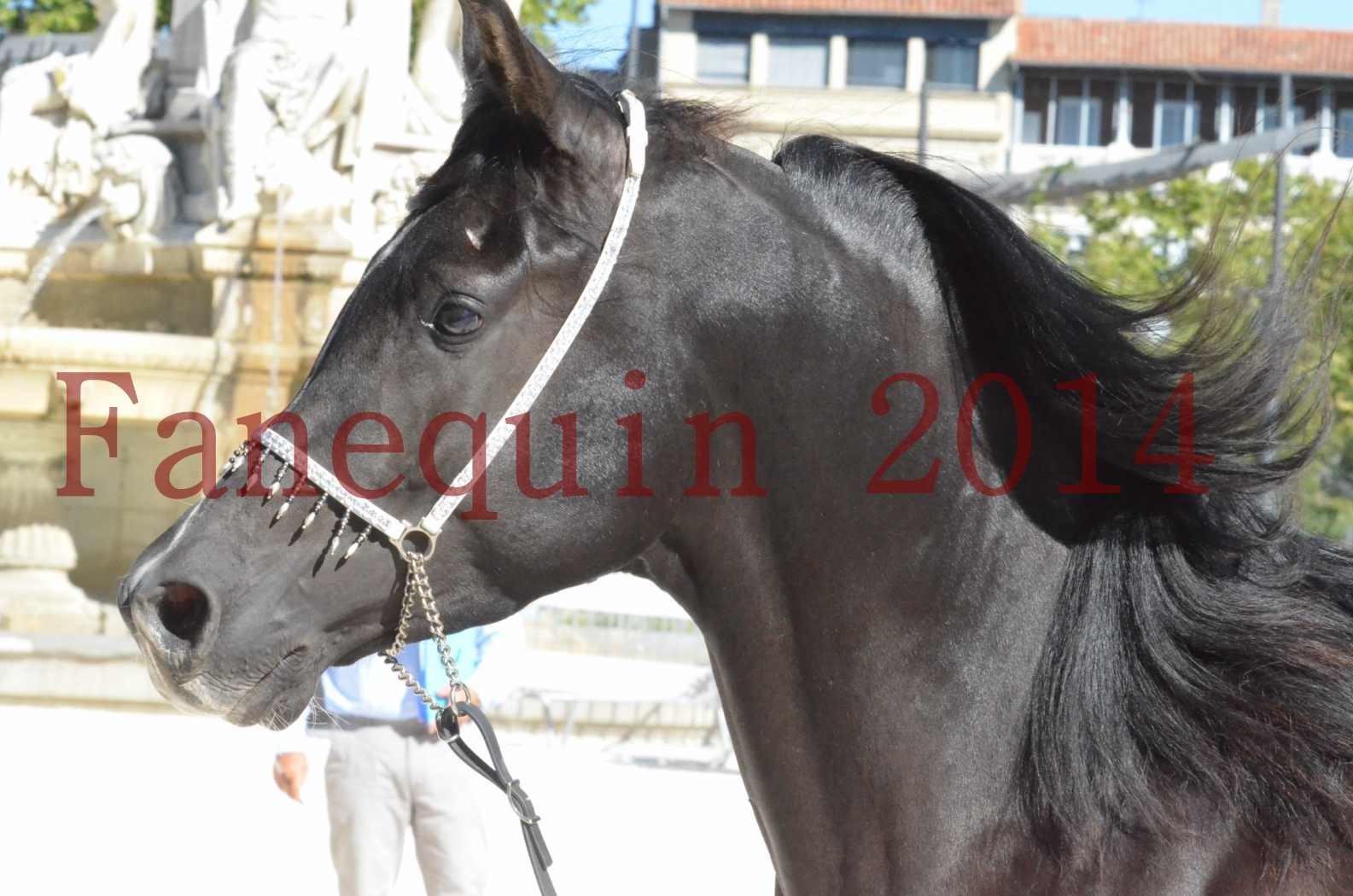 Concours National de Nîmes de chevaux ARABES 2014 - Sélection - Portraits - BALTYK DE CHAUMONT - 03