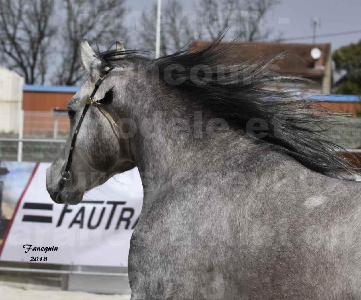 Concours d'élevage de Chevaux Arabes - Demi Sang Arabes - Anglo Arabes - ALBI les 6 & 7 Avril 2018 - FLORAC LARZAC - Notre Sélection - Portraits - 3
