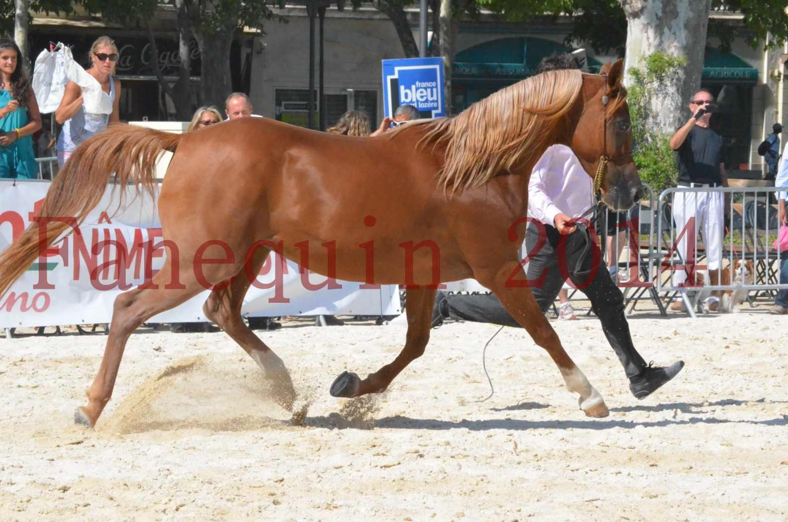 Concours National de Nîmes de chevaux ARABES 2014 - Championnat - MASSAI DE BARREL - 30
