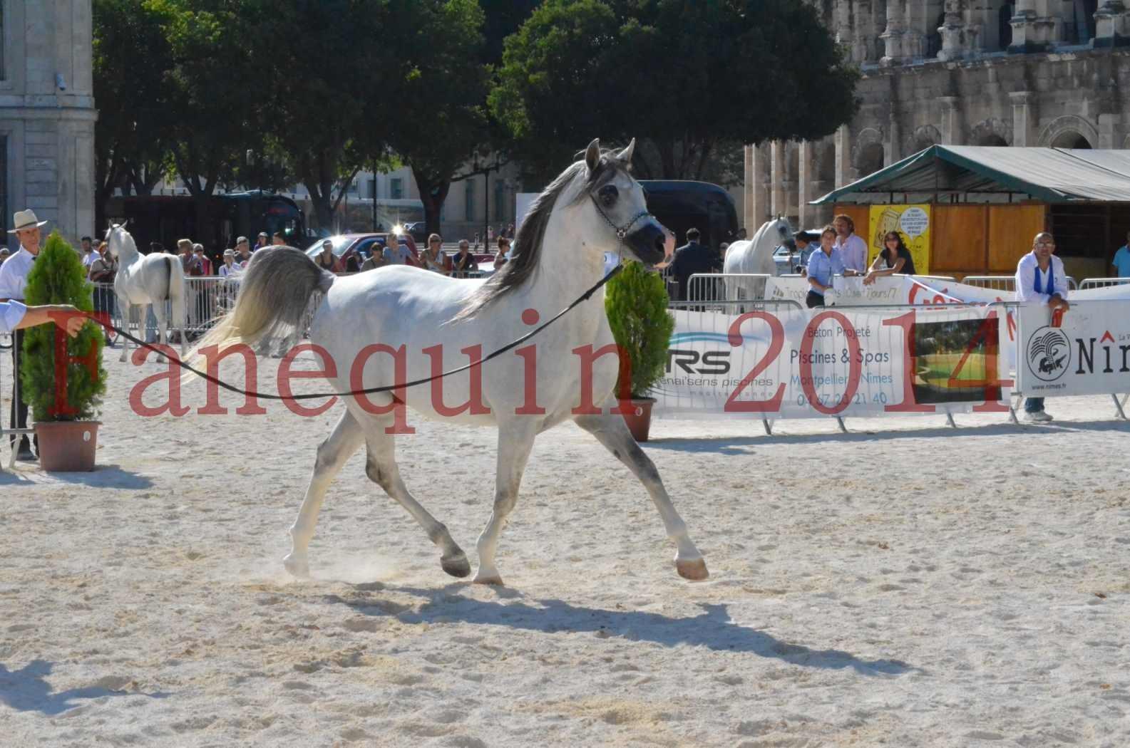 Concours National de Nîmes de chevaux ARABES 2014 - Championnat - SHAOLIN DE NEDJAIA - 37