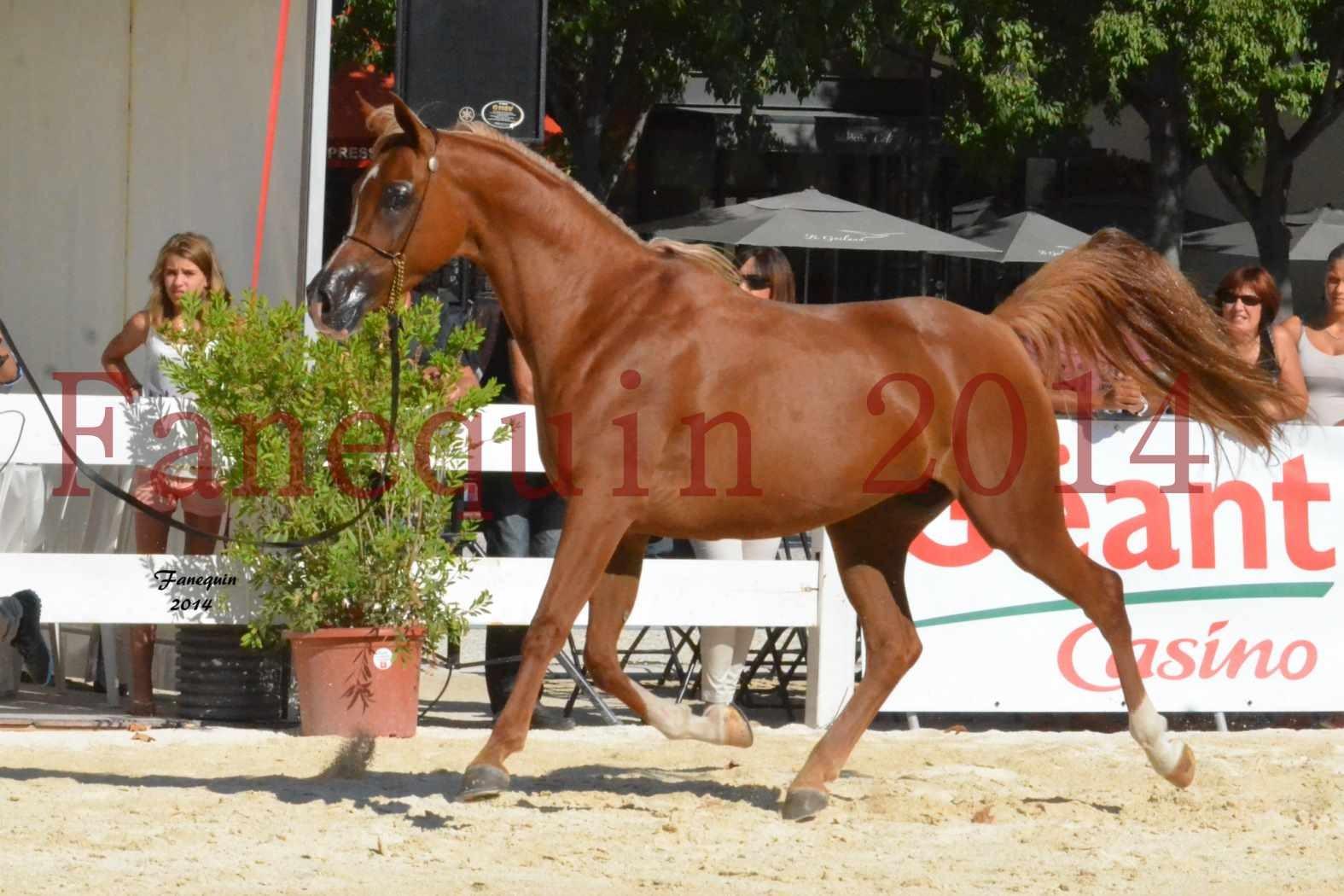 Concours National de Nîmes de chevaux ARABES 2014 - Notre Sélection - MASSAI DE BARREL - 11