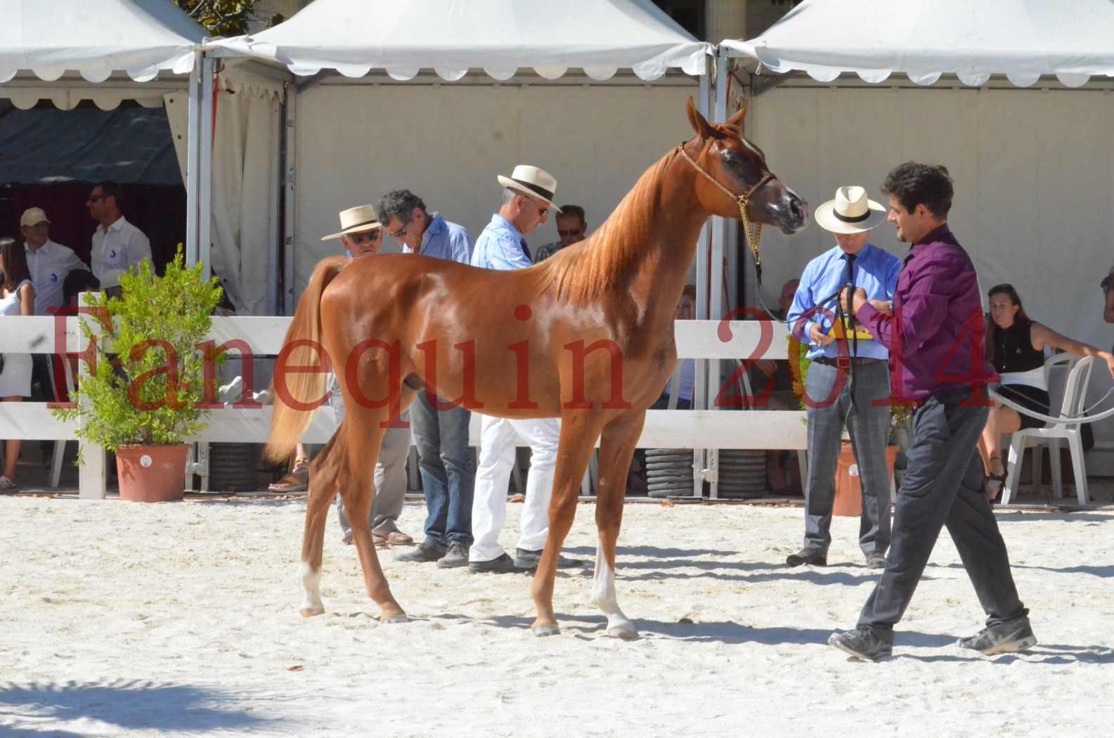 Concours National de Nîmes de chevaux ARABES 2014 - TSAR NERIO - 24
