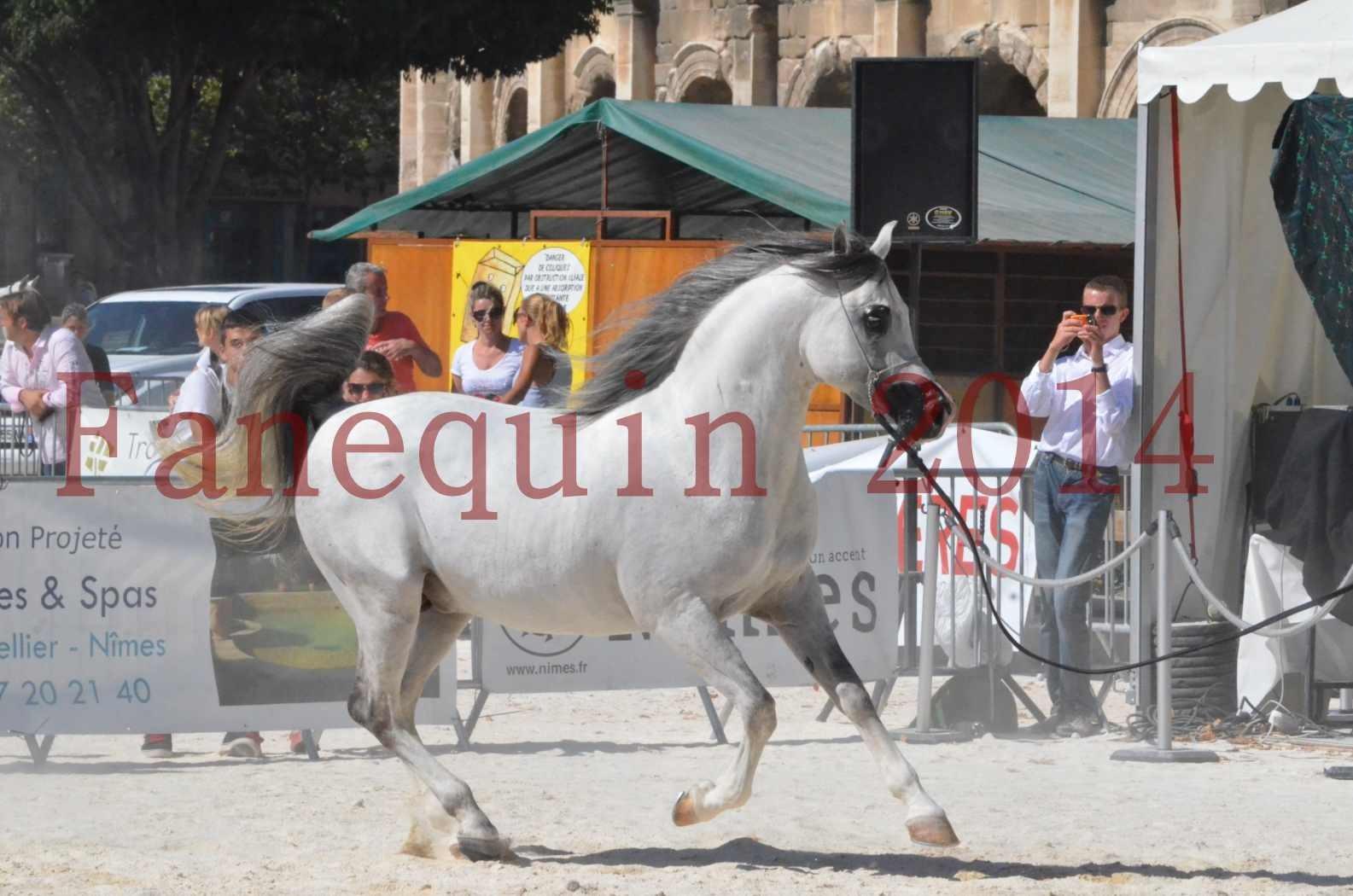 Concours National de Nîmes de chevaux ARABES 2014 - Sélection - SHAOLIN DE NEDJAIA - 36