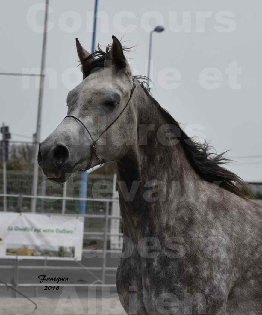 Concours d'élevage de Chevaux Arabes - Demi Sang Arabes - Anglo Arabes - ALBI les 6 & 7 Avril 2018 - PERCEVAL DE LAFON - Notre Sélection - Portraits - 04