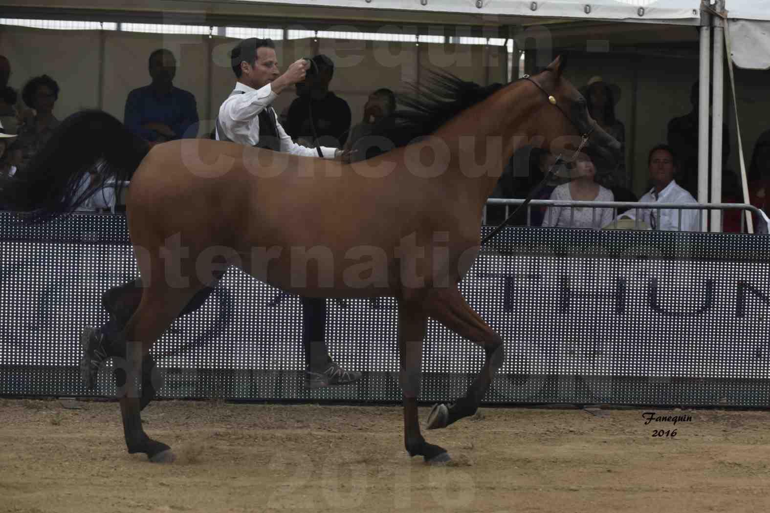 Championnat du Pur-Sang Arabe de la Méditerranée et des pays Arabes - MENTON 2016 - MAZAYA DOMITIA - Notre Sélection - 03