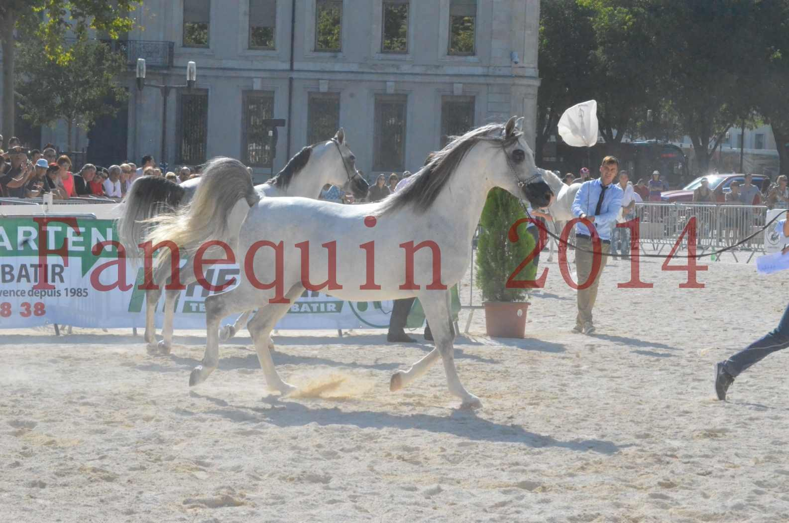 Concours National de Nîmes de chevaux ARABES 2014 - Championnat - SHAOLIN DE NEDJAIA - 06