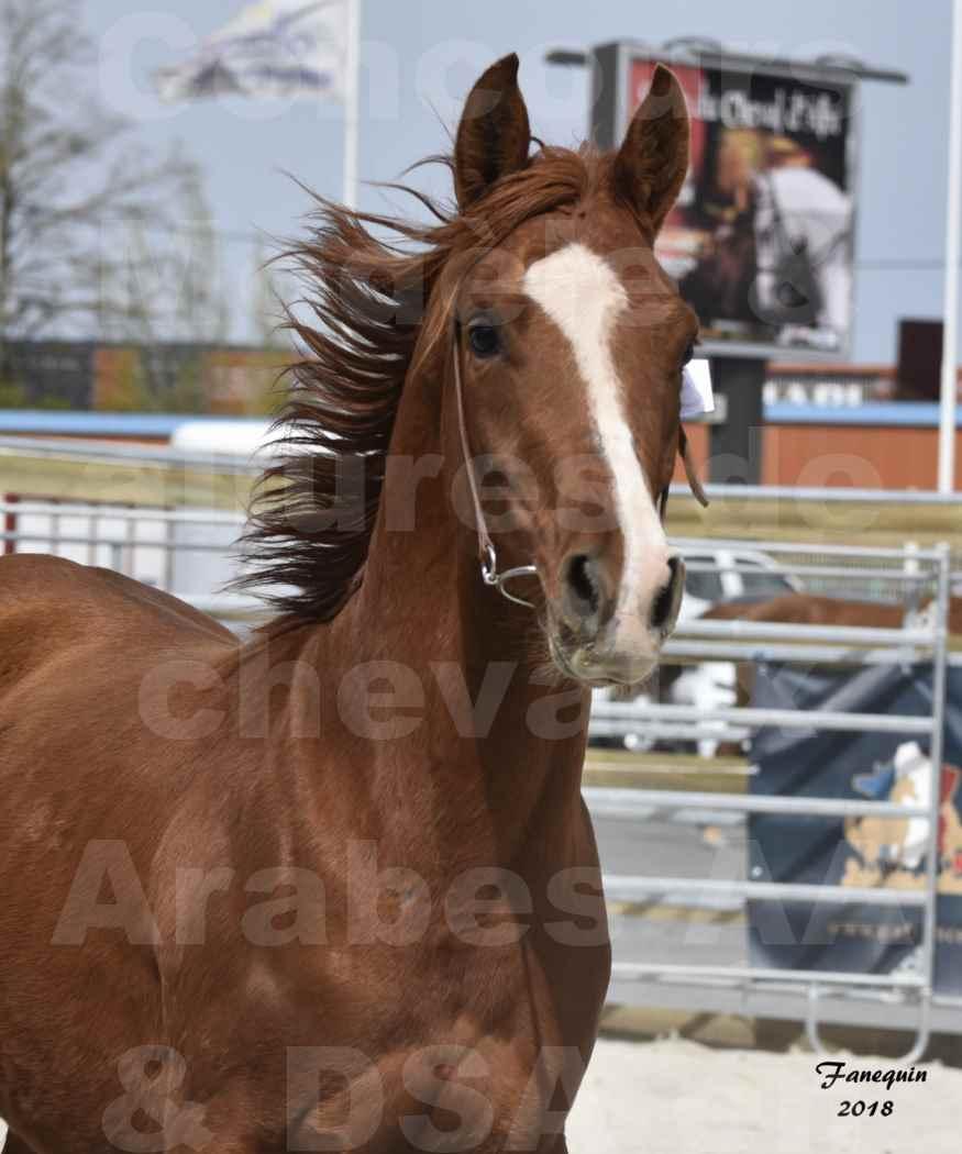 Concours d'élevage de Chevaux Arabes - D. S. A. - A. A. - ALBI les 6 & 7 Avril 2018 - FLEURON CONDO - Notre Sélection - Portraits - 4