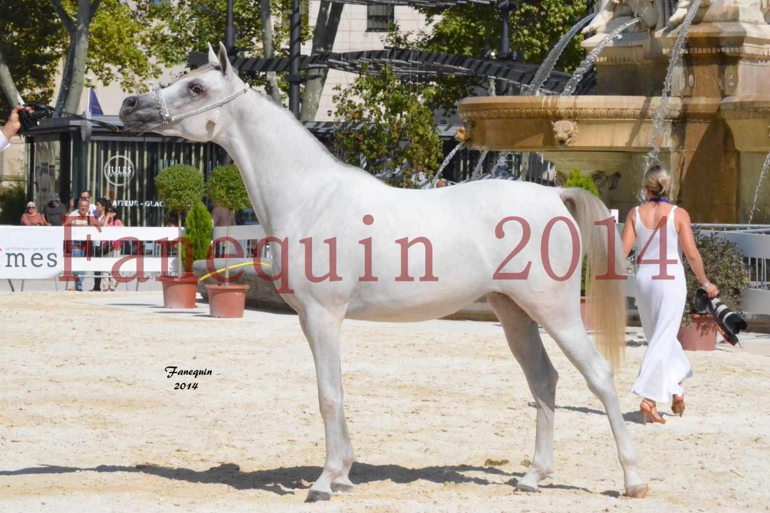 Concours National de Nîmes de chevaux ARABES 2014 - ENVY ETERNITY - 08