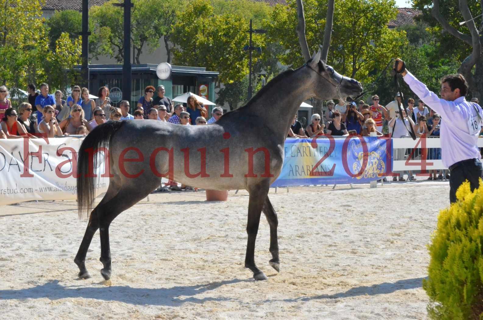 Concours National de Nîmes de chevaux ARABES 2014 - Championnat - JOSEPH'S BOUZIOLS - C 18