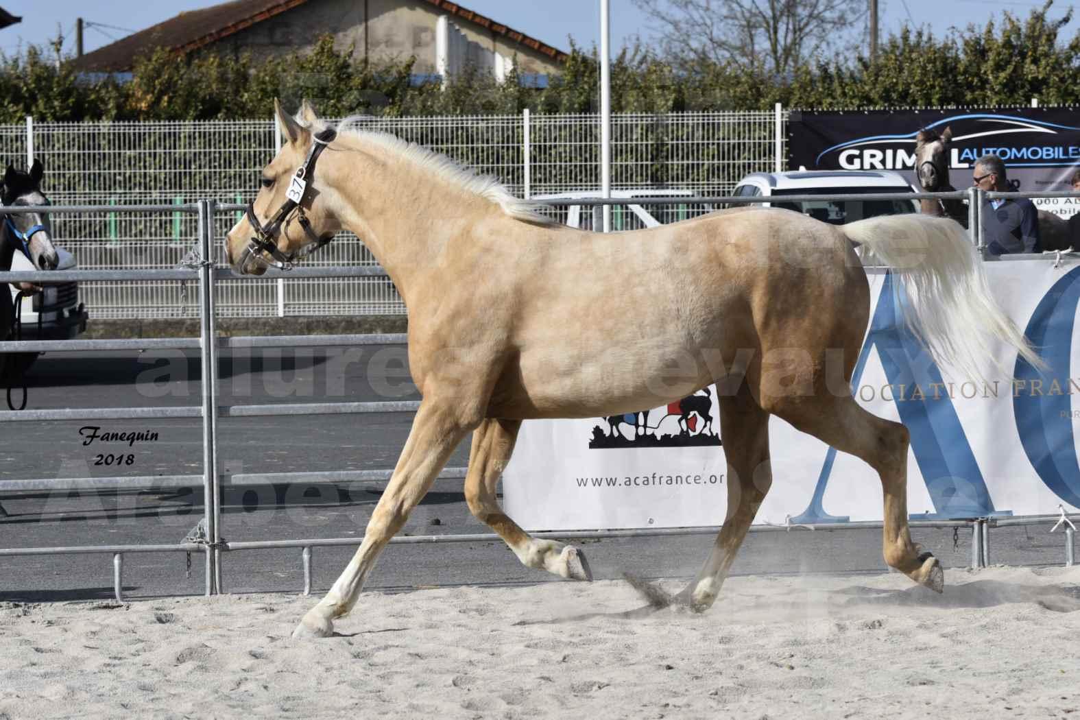 Concours d'élevage de Chevaux Arabes - D. S. A. - A. A. - ALBI les 6 & 7 Avril 2018 - GOLD DE DARRE - Notre Sélection - 2