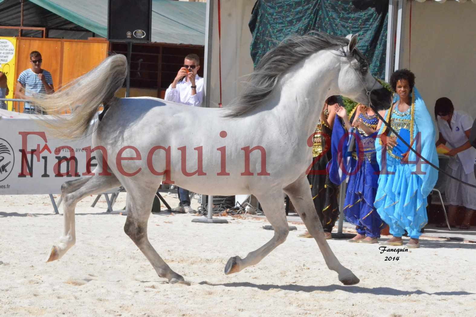 Concours National de Nîmes de chevaux ARABES 2014 - Notre Sélection - SHAOLIN DE NEDJAIA - 08