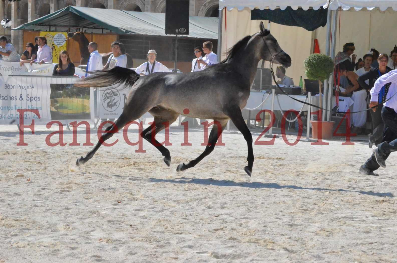 Concours National de Nîmes de chevaux ARABES 2014 - Championnat - JOSEPH'S BOUZIOLS - C 08