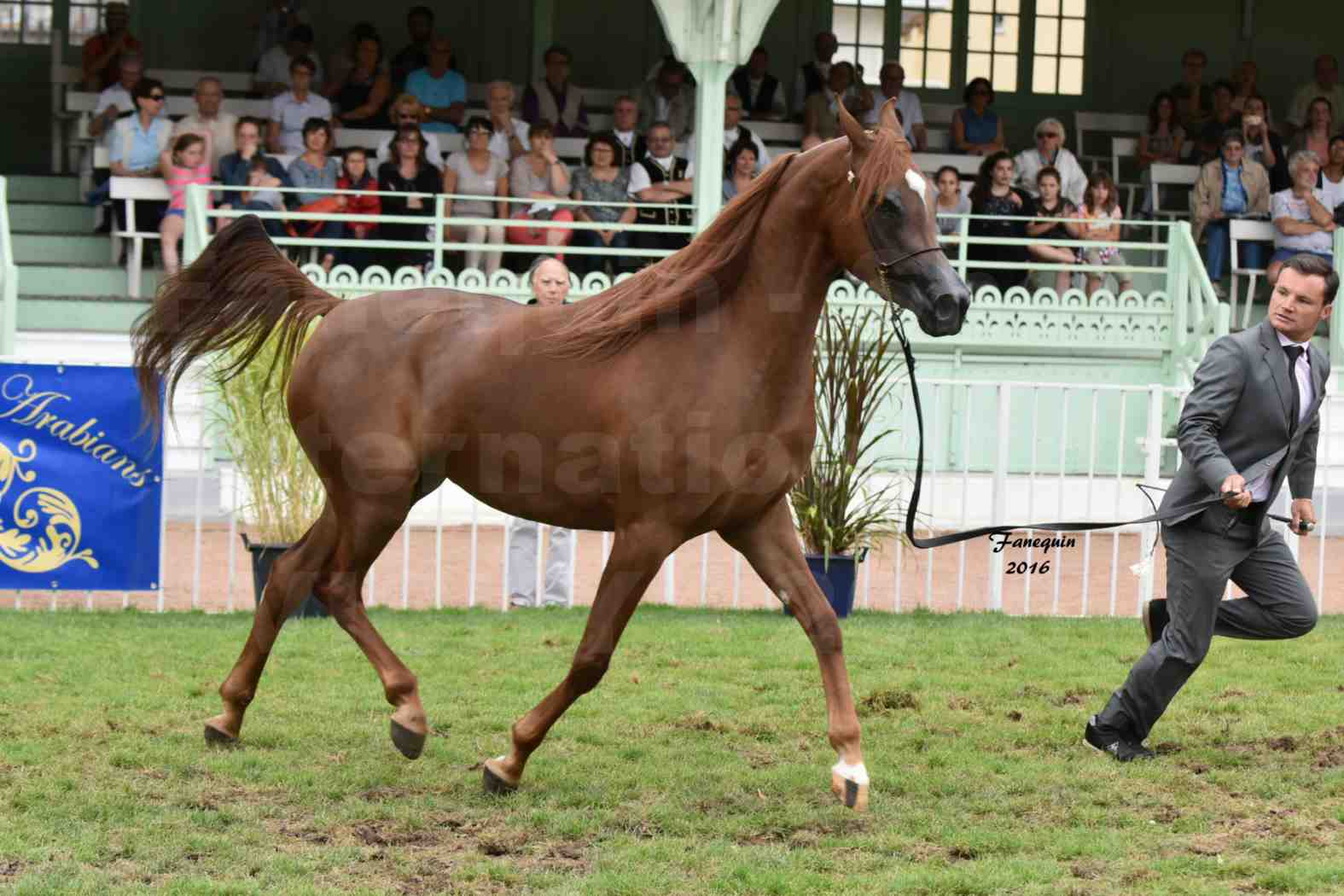 International Arabian Horse Show B de VICHY 2016 - PEARL DE DJOON - Notre Sélection - 13