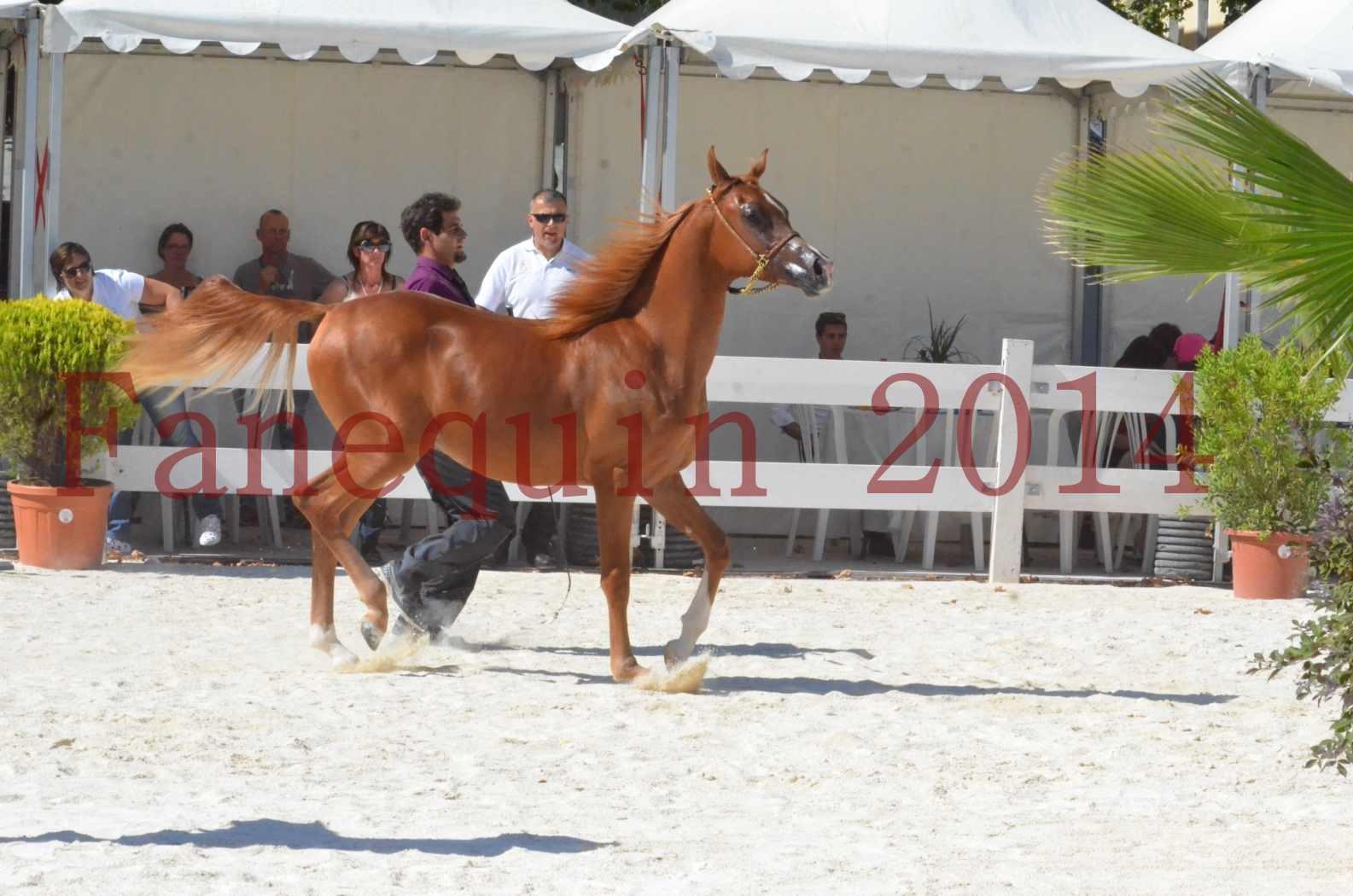 Concours National de Nîmes de chevaux ARABES 2014 - TSAR NERIO - 21