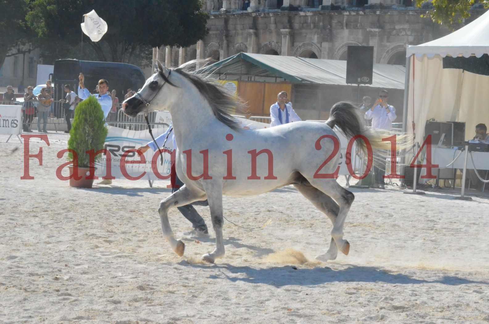 Concours National de Nîmes de chevaux ARABES 2014 - Championnat - SHAOLIN DE NEDJAIA - 02