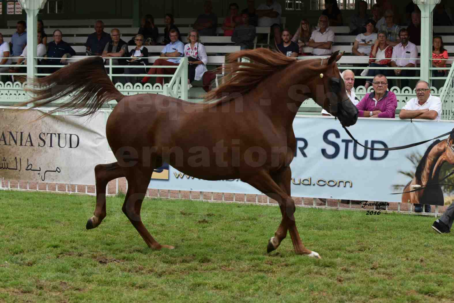 International Arabian Horse Show B de VICHY 2016 - PEARL DE DJOON - Notre Sélection - 06