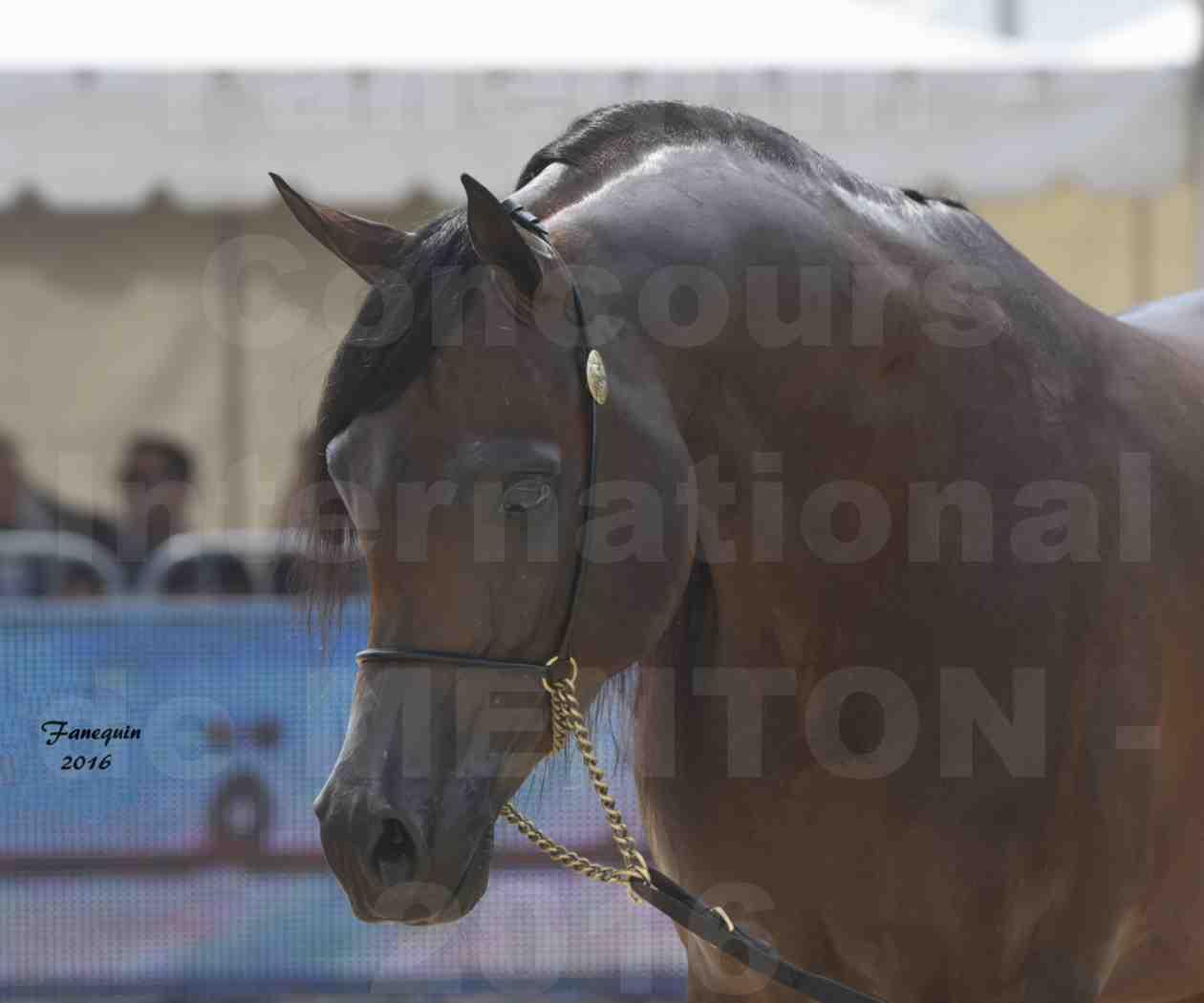 Championnat du pur-sang arabe de la Méditerranée et des pays arabes - MENTON 2016 - EKS ALIHANDRO - Notre Sélection - Portraits - 7