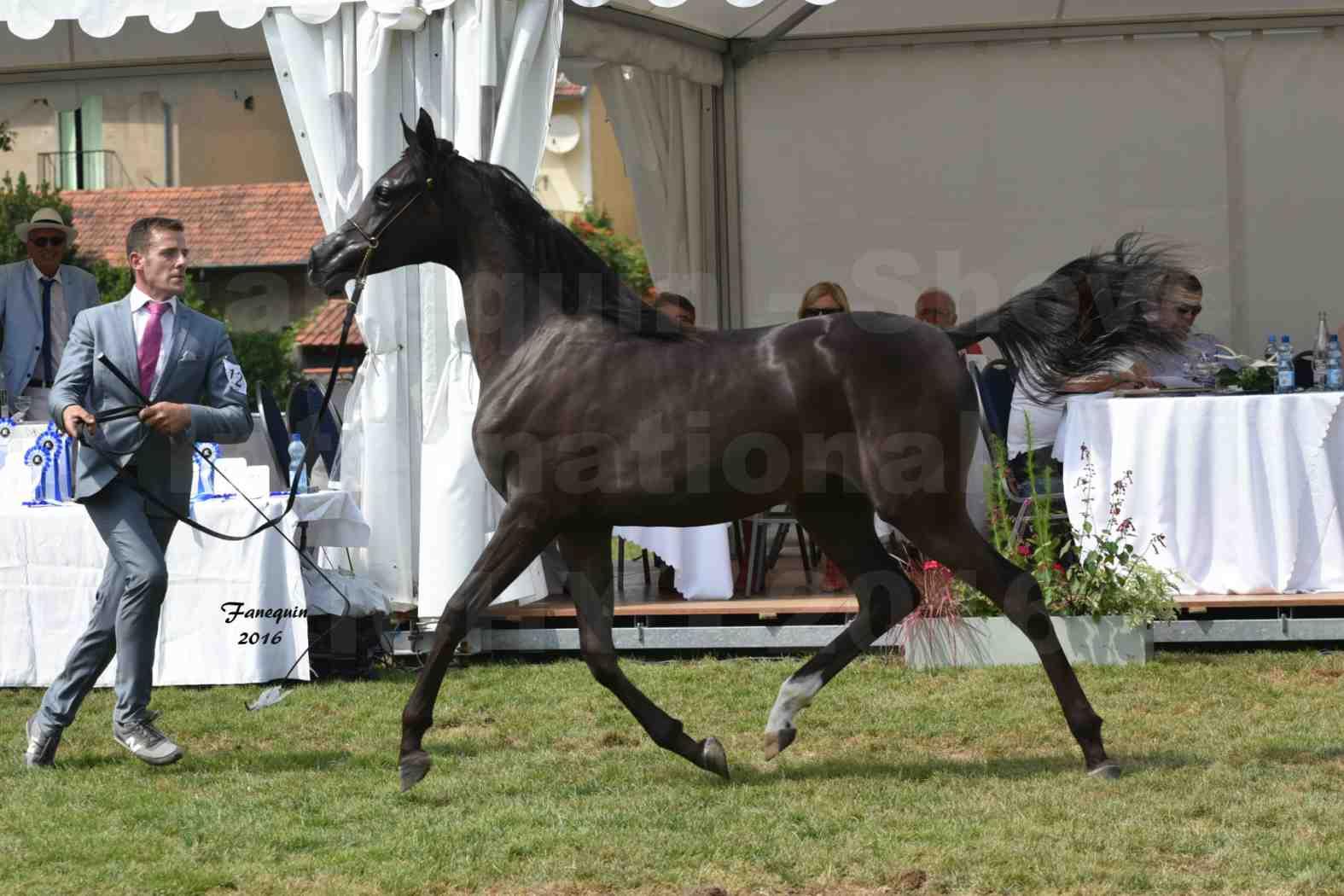 International Arabian Horse Show B de VICHY 2016 - ANNALISA ALIH - Notre Sélection - 8